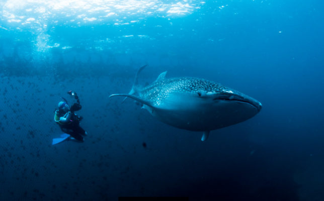 ジンベエザメと泳いできました