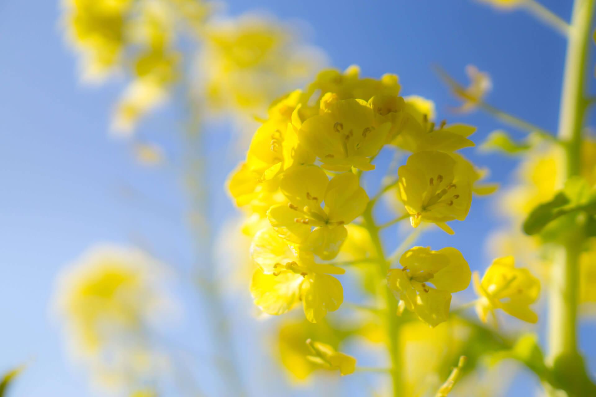 吾妻山公園の菜の花ドアップ