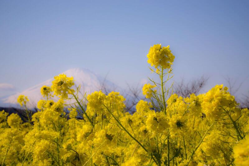 二宮菜の花祭りの写真・吾妻山公園の駐車場などを解説【2020】