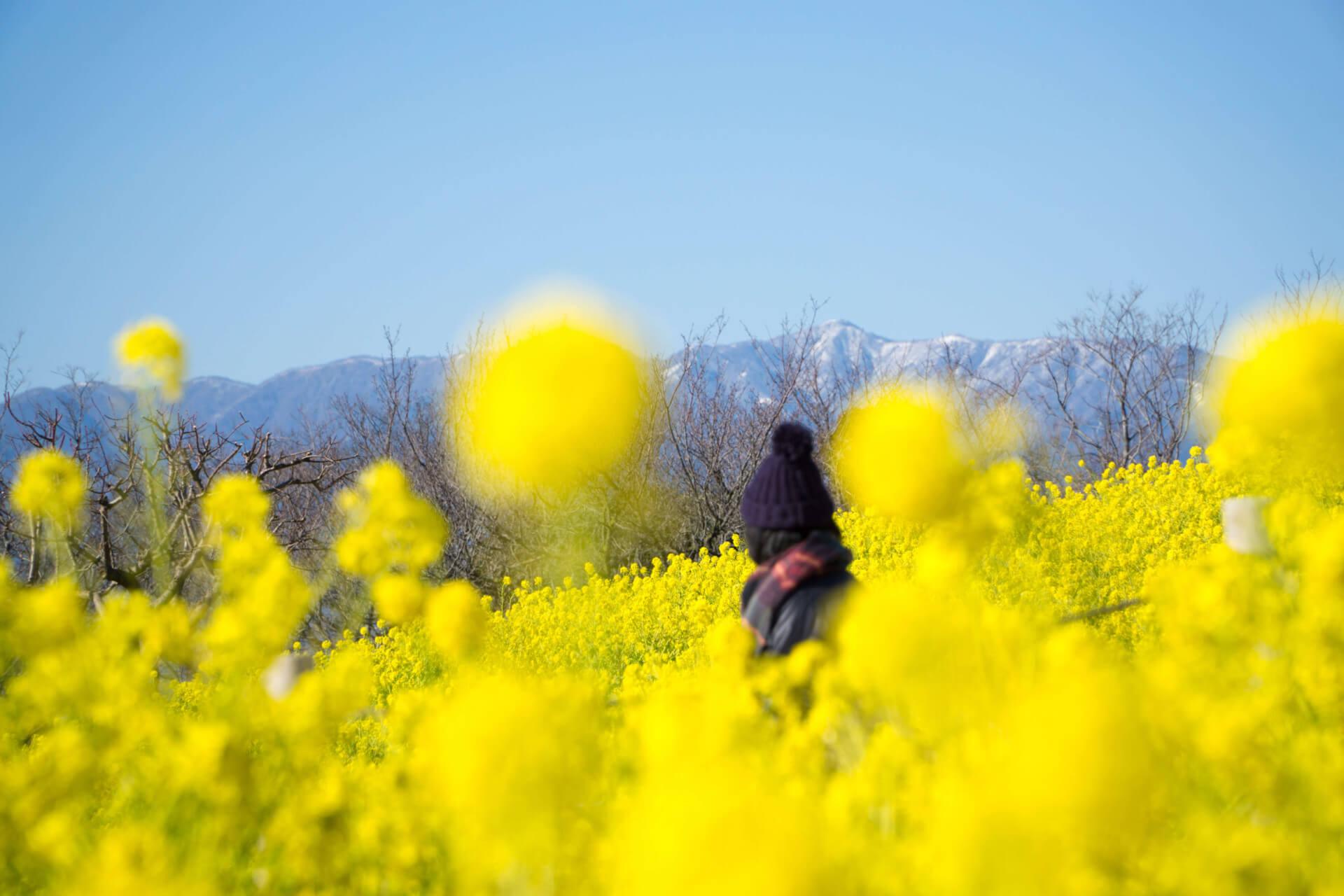 2020年の吾妻山公園菜の花