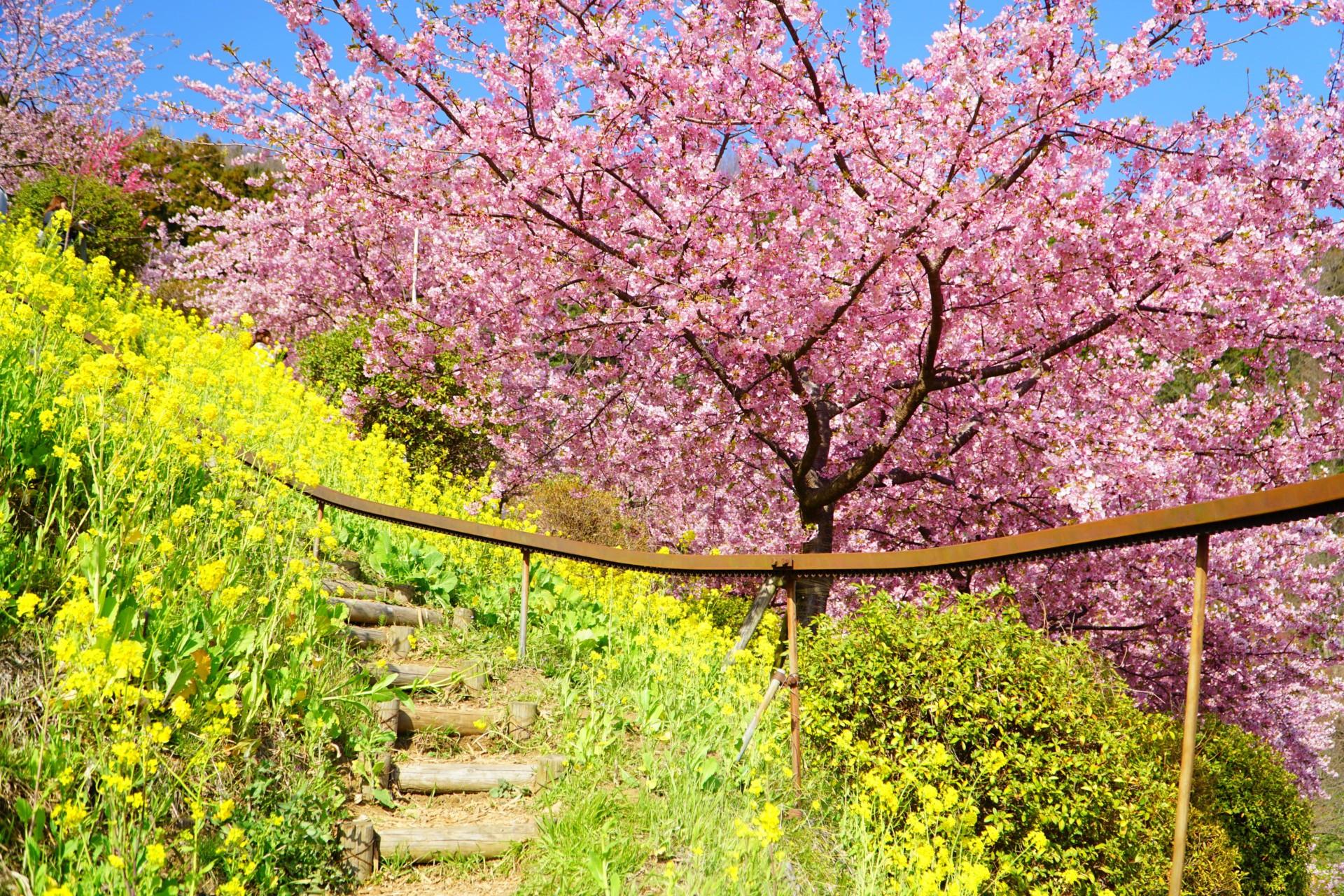 菜の花と河津桜あぐりパーク嵯峨山苑